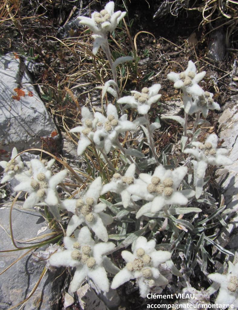 L' edelweiss