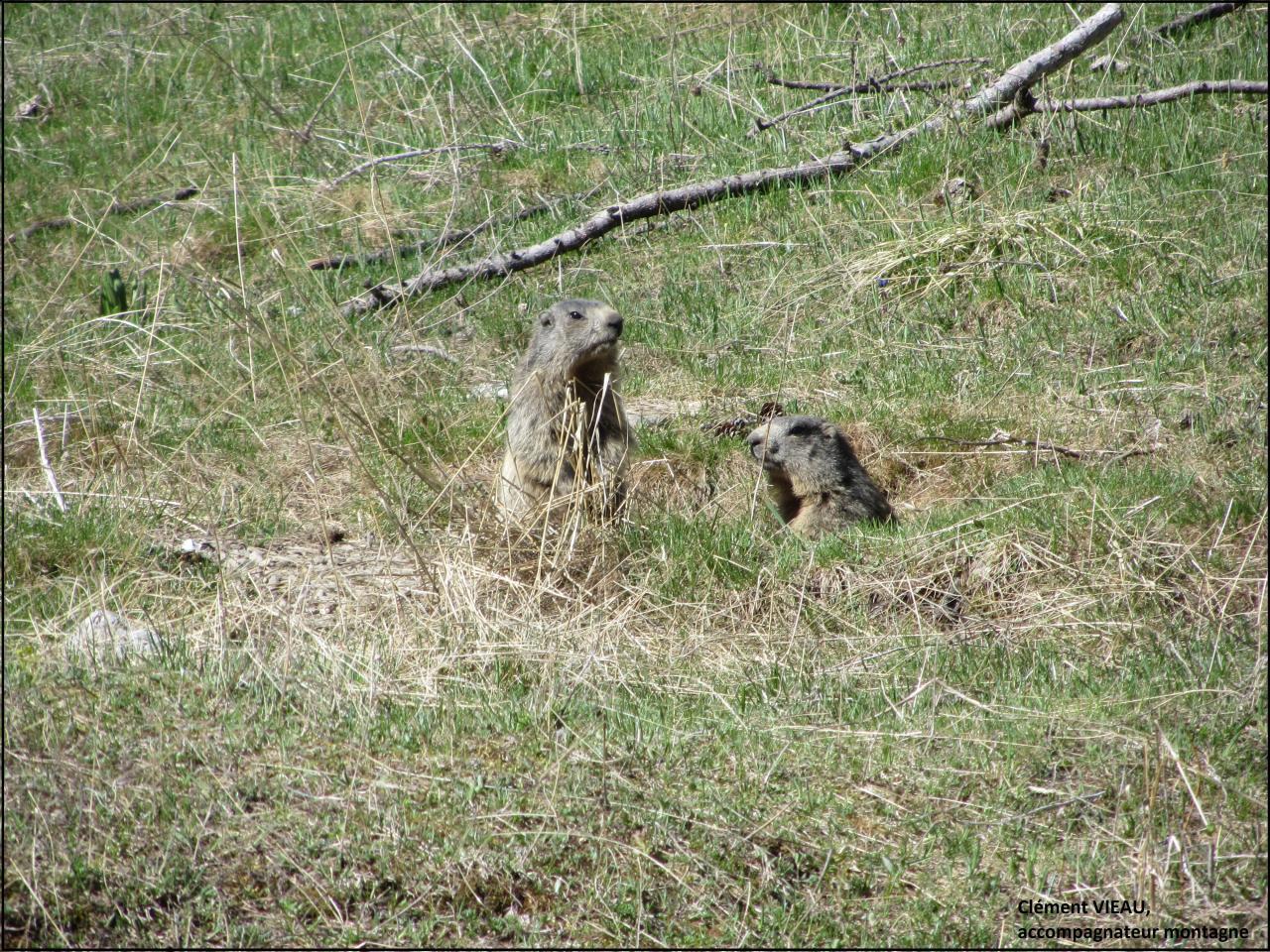 Marmottes à la sortie du terrier