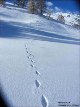 la trace du renard