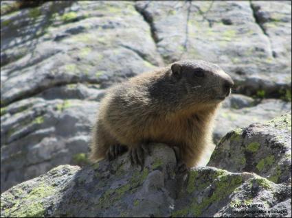 Rencontre avec les marmottes